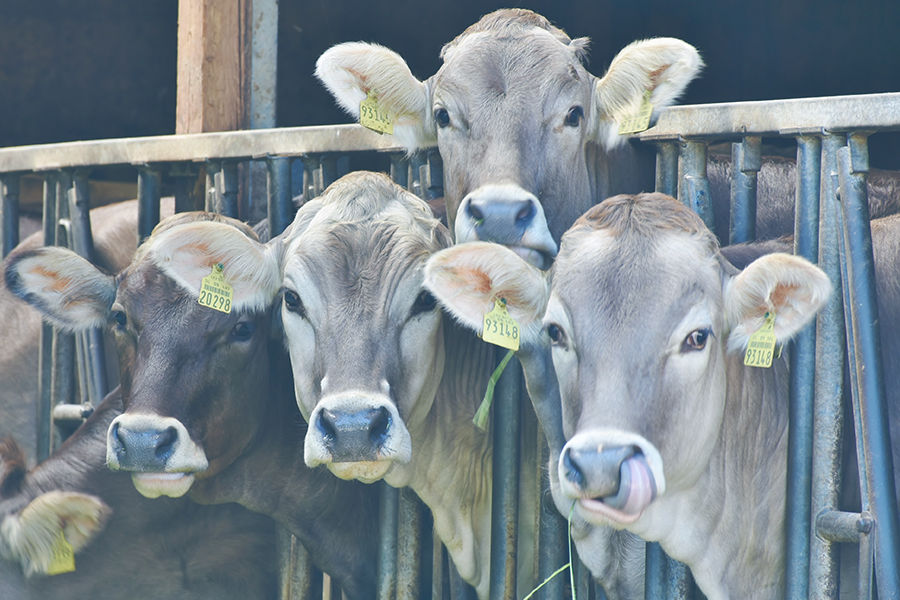 livestock-cows